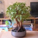 Фикус Бенджамина: выращивание и уход в домашних условиях