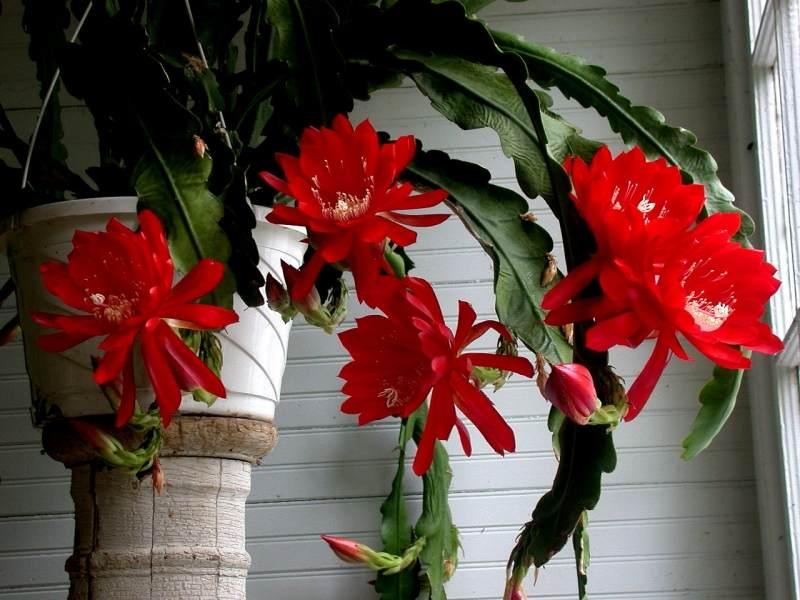 Комнатный цветок тёщин язык и уход