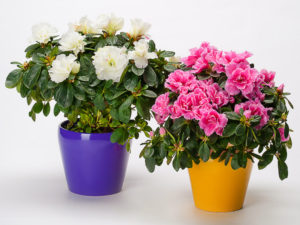 Two azaleas in pots on white background