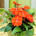 Бальзамин: особенности выращивания и ухода