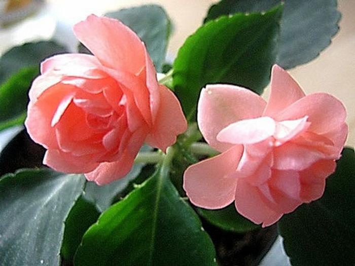 Цветы бальзамин посадка и уход комнатный