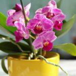 Орхидея: проблемы выращивания и советы по уходу