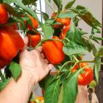 Как вырастить сладкий перец на подоконнике