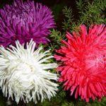 Выращивание астры в домашних условиях: выбор семян, посадка, уход