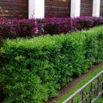 Живая изгородь на приусадебном участке: обзор растений и правила посадки